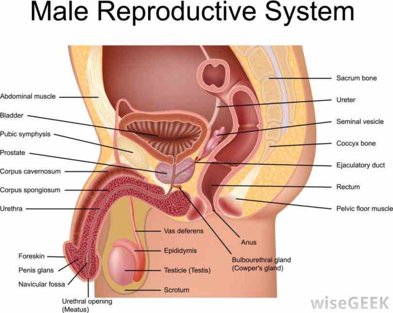 the testis from greek word orchis is male gland important for both reproductive exocrine and endocrine functions initially it