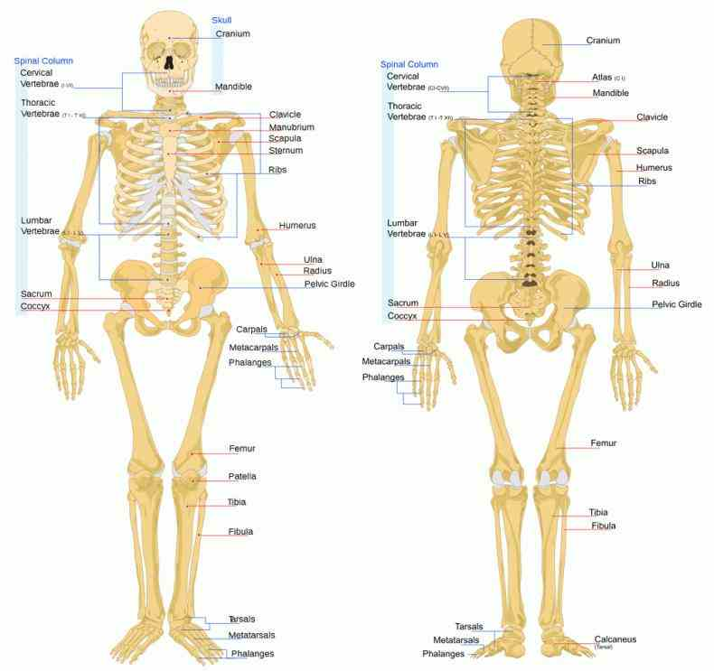 there are four types of bone long bones which strong structure Major Bones Of The Human Skeleton Anatomy and