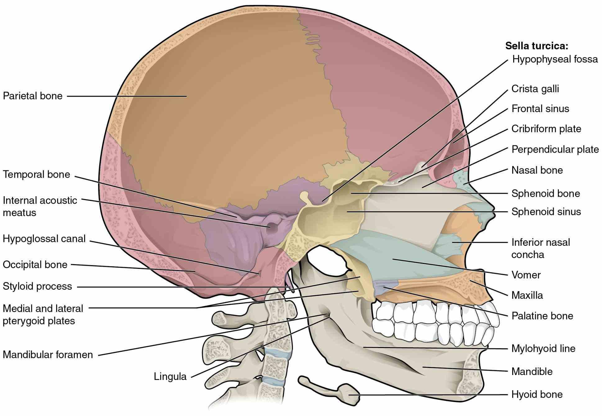 those cranium which subdivided skullcap known as calvarium and movements Anatomy The Bones Of The Skull of these bones