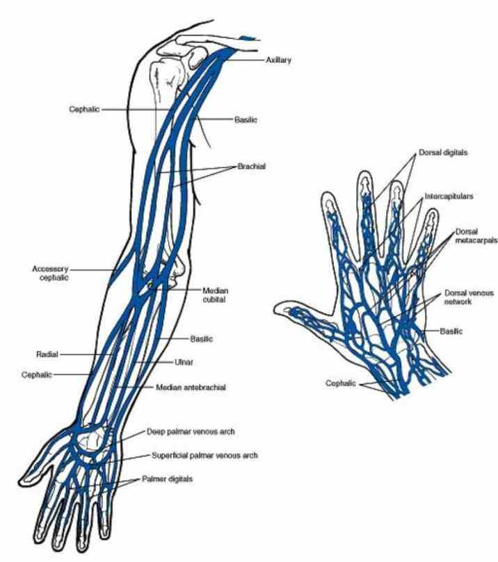 through aorta and reaches arms brachiocephalic trunk anatomy explorer palmar venous arches carry to radial ulnar veins which run