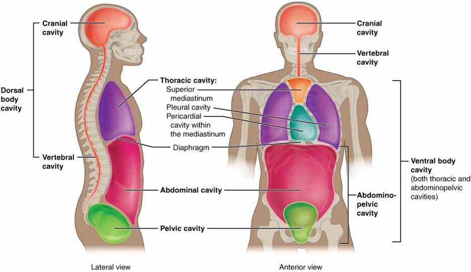 to area waist ir Dorsal Region Of The Body Anatomy para body cavities the or spaces of contain internal