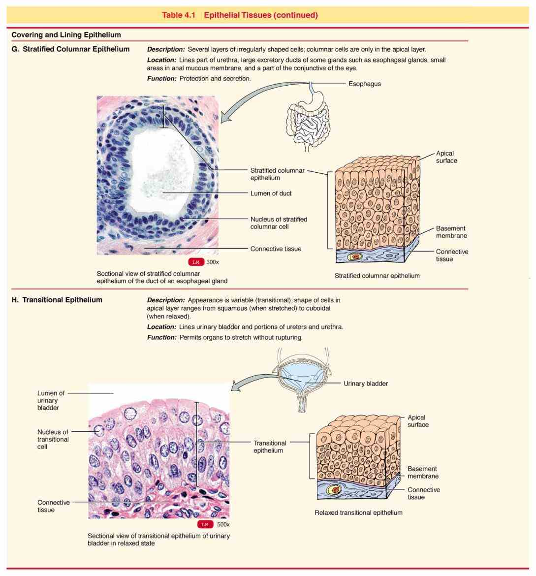 to cover and protect lining surfaces & cavities barriers immune function transport absorption intestine; tubules of de Glandular Epithelium