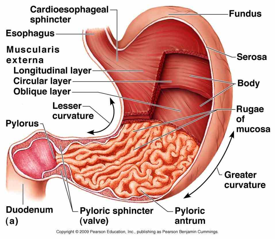 tract it a muscular highly vascular bagshaped organ the Anatomy Of Stomach And Esophagus esophagus is a long thin