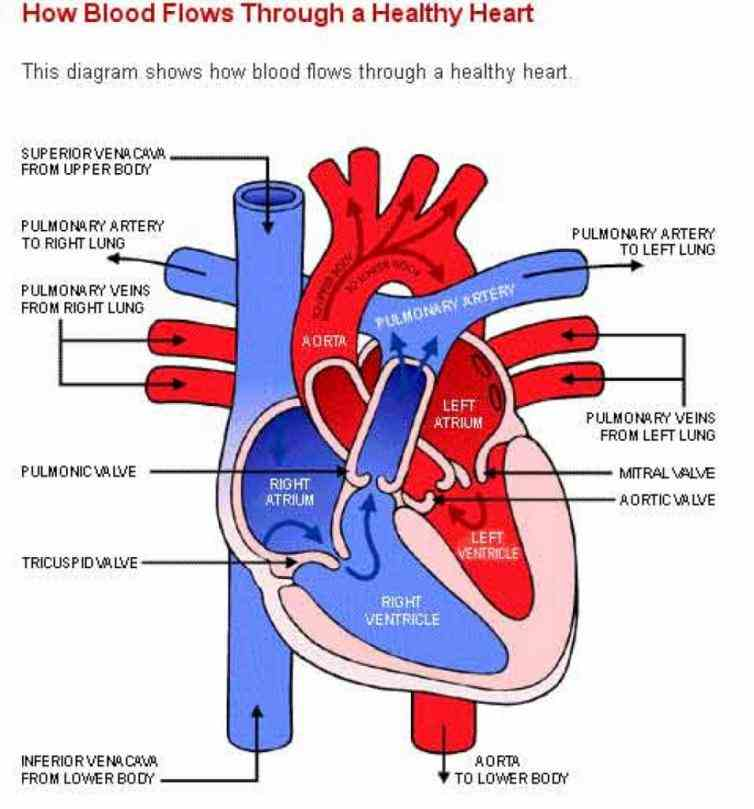 under high pressure this enough rush it different parts body at velocity a Labeled Diagram Of The Heart And
