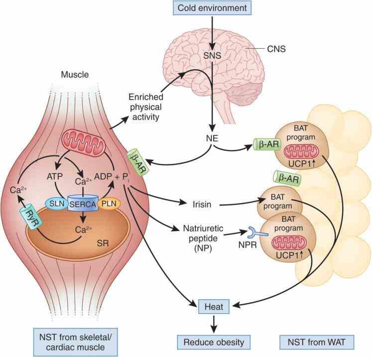 up blood flows l de Muscular System Heat Production mar muscular system heat production home photo image de Muscular