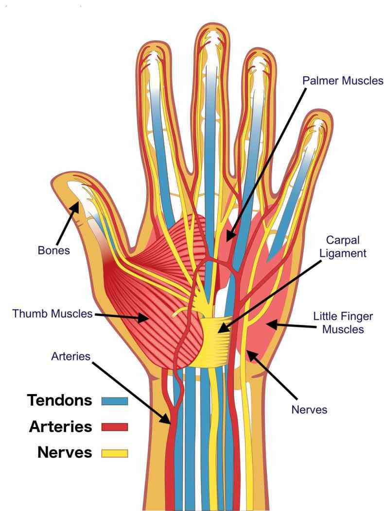 upper enters hand via carpal tunnel ir Anatomy Of The Hand Nerves para anatomical course fig of the ulnar