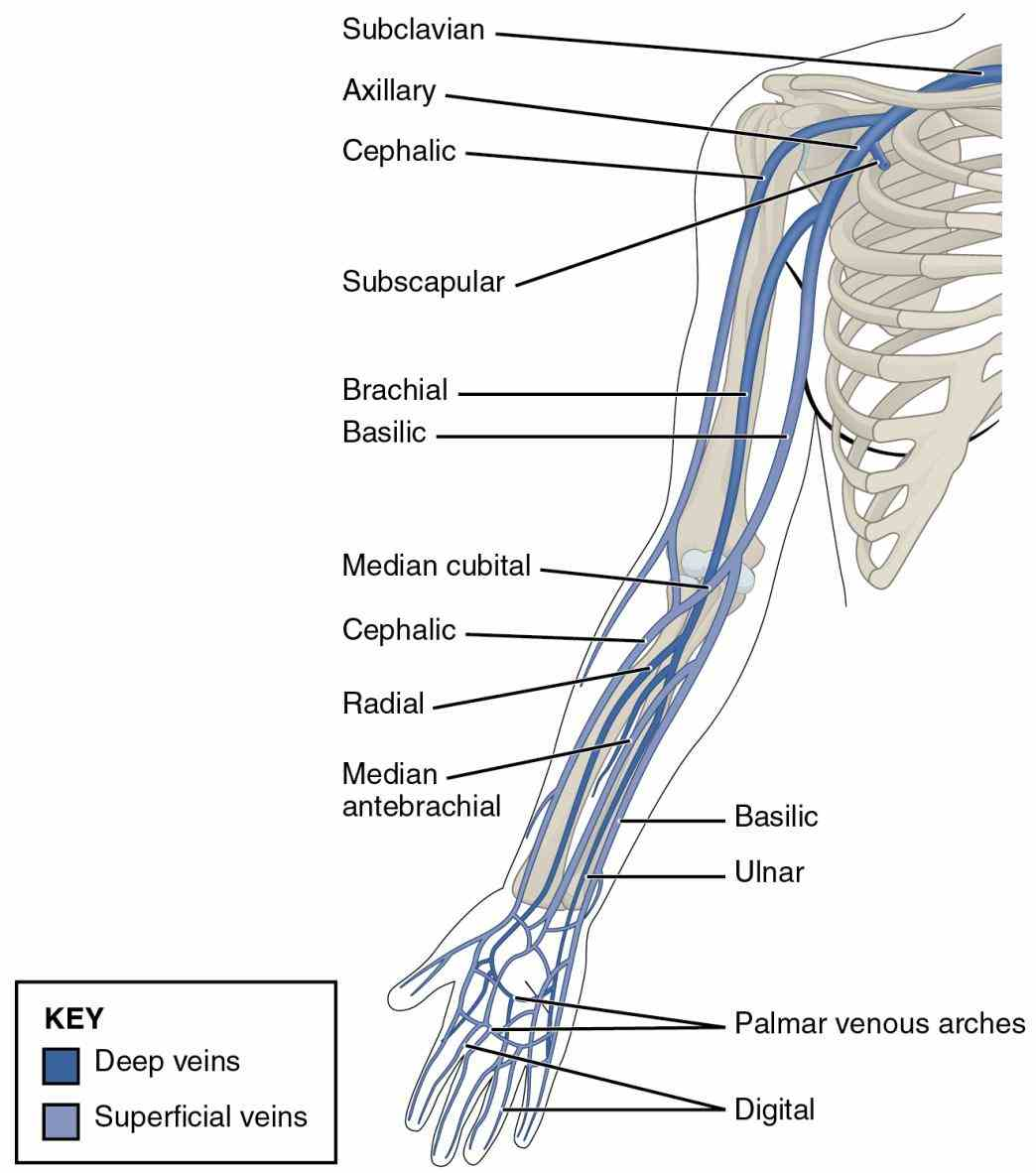 veins – their border teres major vein moves deep into arm from Anatomy Of The Veins In The Arm