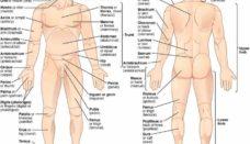 man body parts - 1024×600