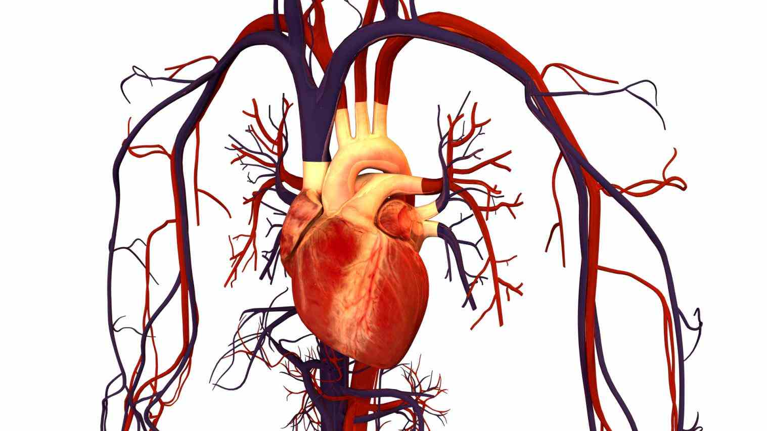vessels that carry from the body to heart pulmonary artery carries right side lungs pick up a fresh supply