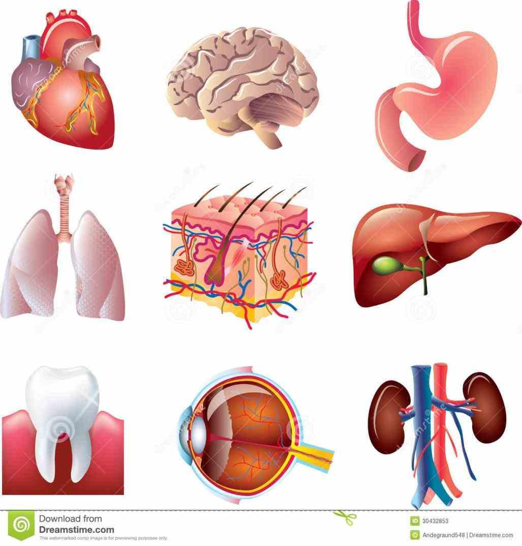 waist buttocks backside leg face chest stomach hip download Images Of External Organs Of Human Body external body part