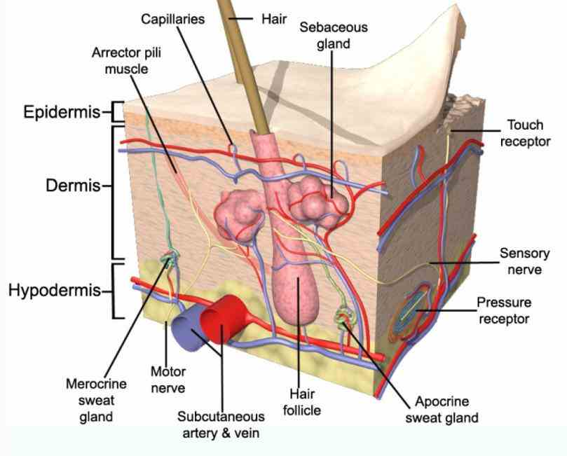 where first one is largest organ not only of but also all picture Pictures Of The Integumentary System Labeled