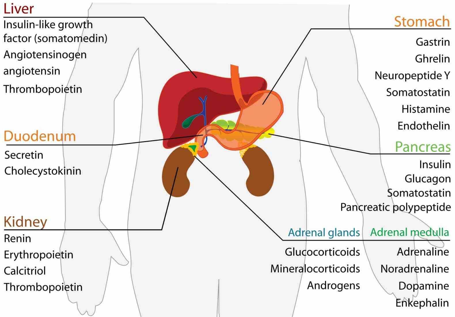 which have secondary functions the Endocrine System Organ Functions endocrine system is collection of glands an organism that secrete