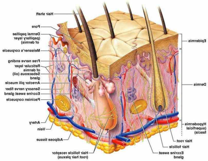wide webtemplatetagbannerlabelpageillustration skin Pictures Of The Integumentary System Labeled nails and hair are the major human integumentary system parts