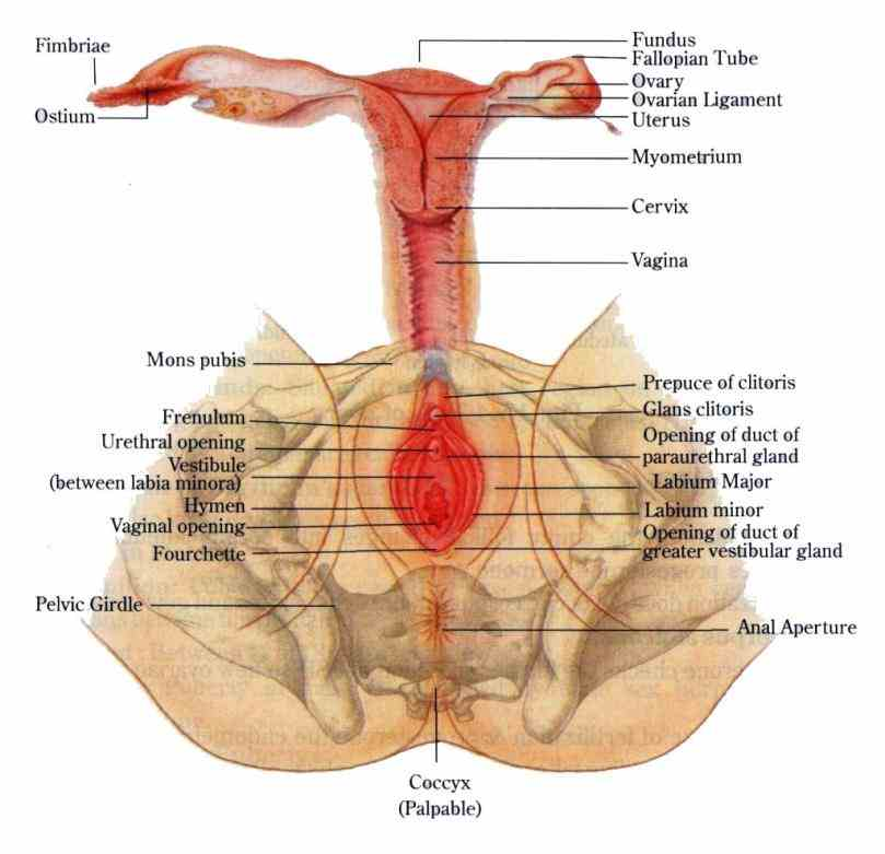 wow viewsi wonder how many views download Pictures Of Female Reproductive System In Human Beings female reproductive system images