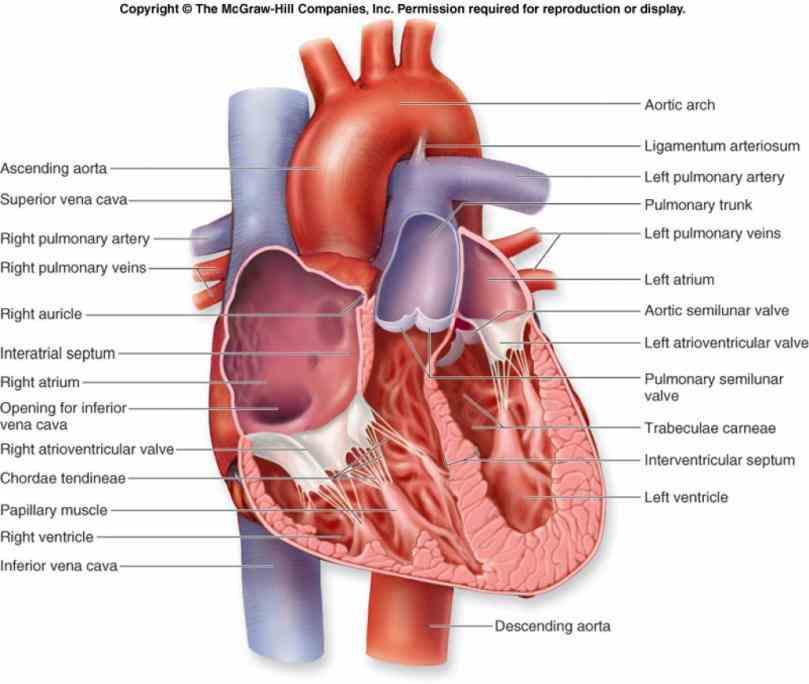 wwwtaylorcustomcomanatomicalheartlocket from body to lungs a· b· c· d· heart Heart Internal Structure Diagrams internal structure diagrams of the