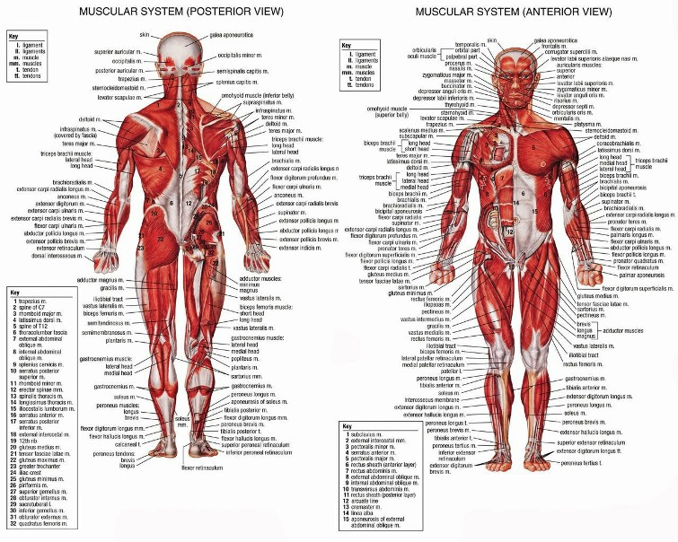 Anatomy The Three Types Of Muscles In The Body Pictures Wallpapers