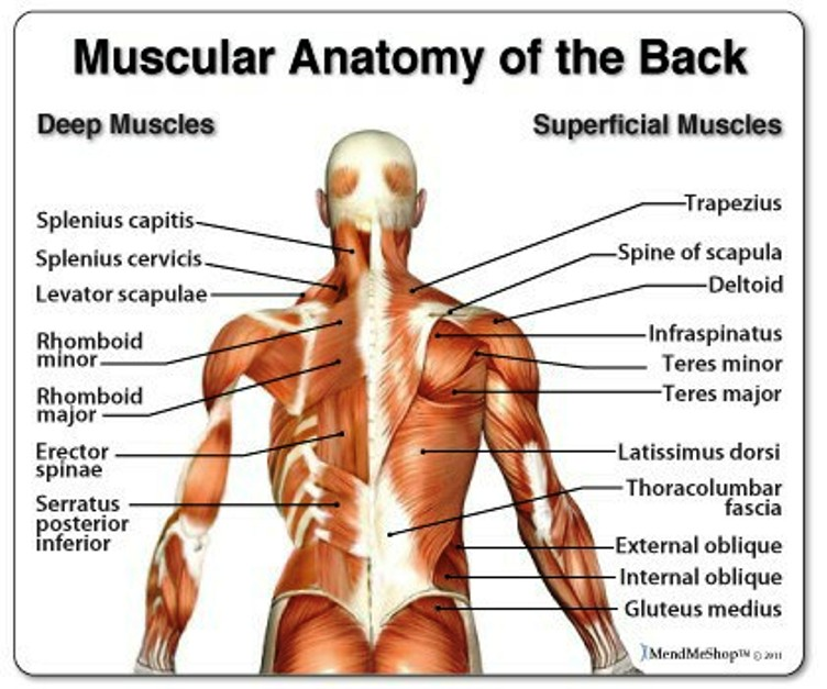 Back Anatomy Pictures Wallpapers