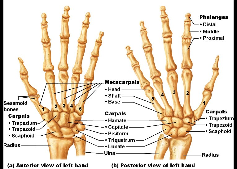 Bones Of The Hand Pictures Wallpapers
