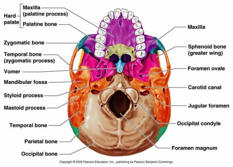 Bones Of The Skull Pictures Wallpapers