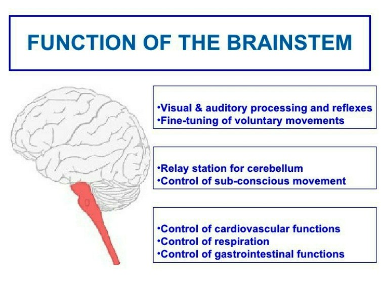 Brain Stem Function Pictures Wallpapers