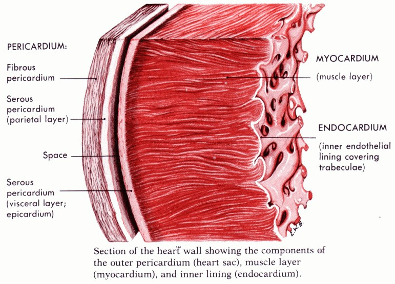 Muscle Layers Of The Heart Pictures Wallpapers