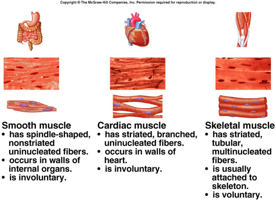 Muscle Types And Functions Pictures Wallpapers