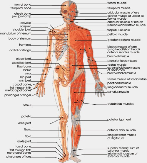 Muscles And Bones In The Body Pictures Wallpapers