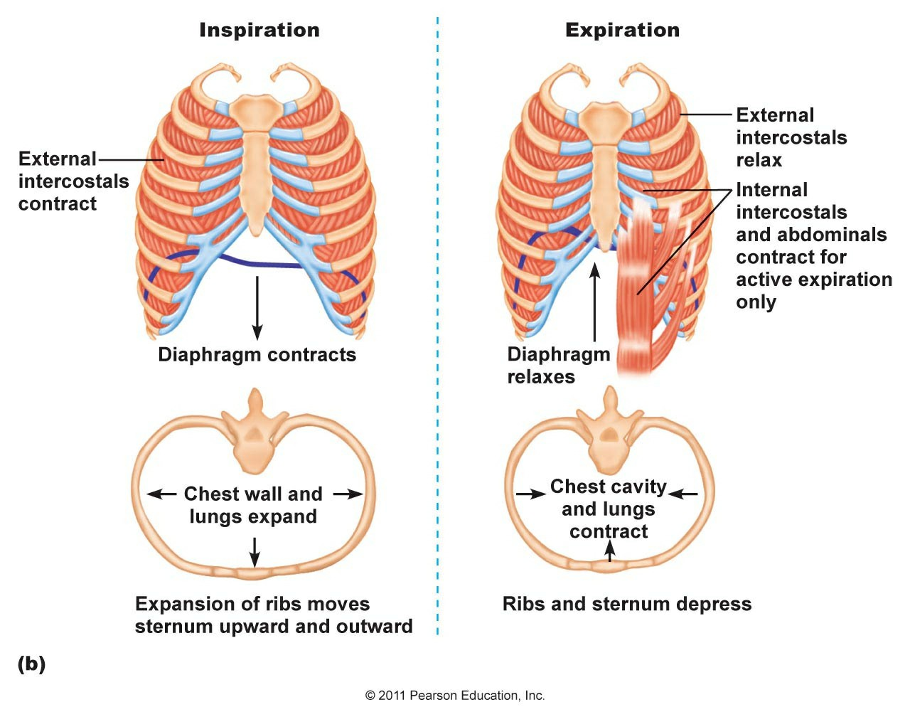Muscles Of Inspiration And Expiration Chapter 16 Pictures Wallpapers