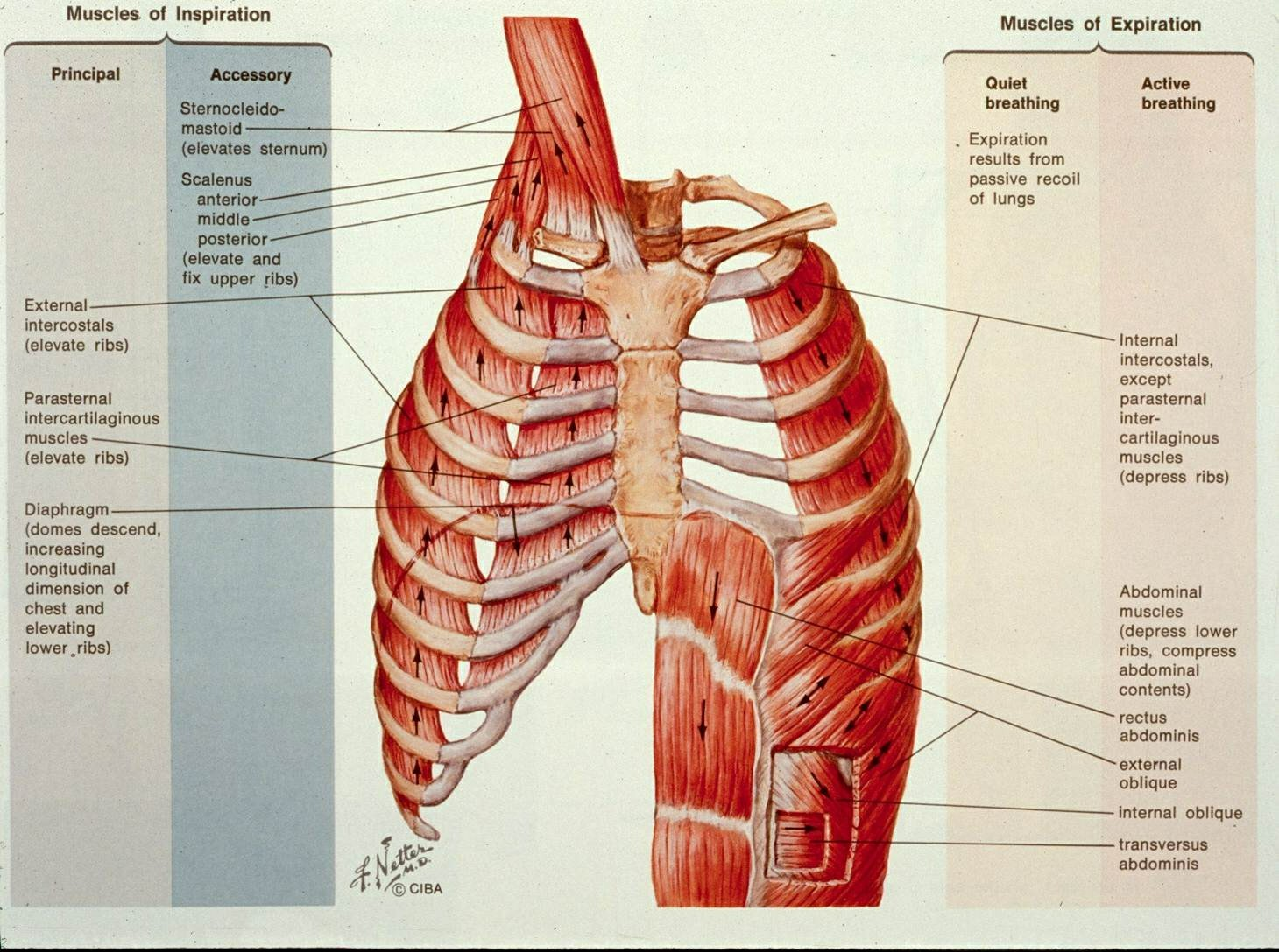 Muscles Of Respiratory System 1000+ Images About Anatomy On Pinterest | Lungs, Sphenoid Bone And Pictures Wallpapers