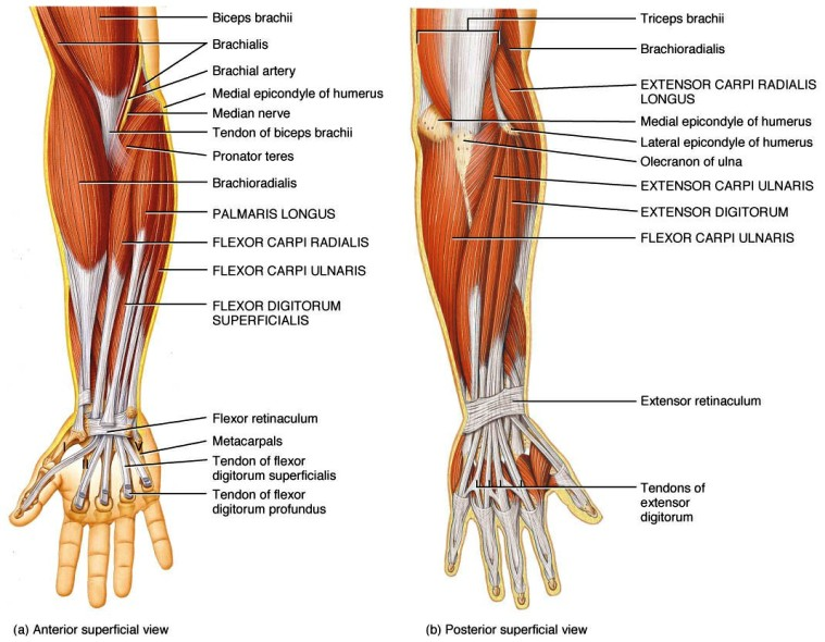 Muscles Of The Wrist Joint Pictures Wallpapers