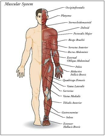 Muscular System Body Parts Pictures Wallpapers