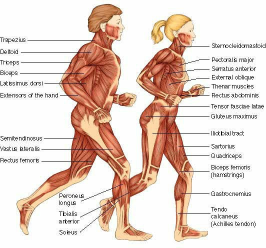 Muscular System Major Parts Pictures Wallpapers