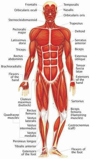 Muscular System Without Labels Pictures Wallpapers