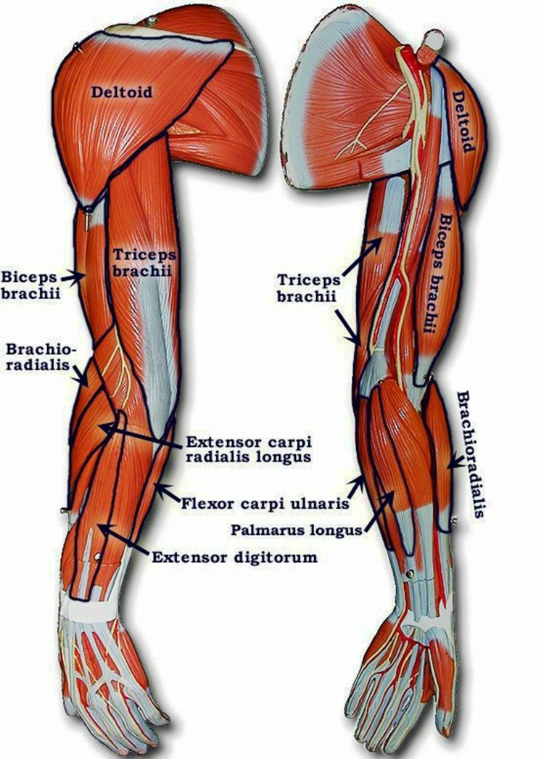 Photo of Arm Muscle model with outlined and named muscles Pictures Wallpapers