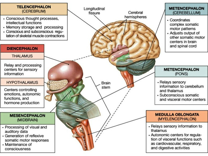 Brain Functions Pictures Wallpapers